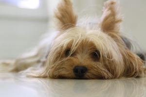 yorkshire-terrier-171701_960_720